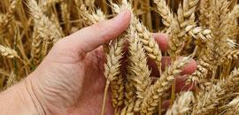 Зерновые культуры в современном растениеводстве